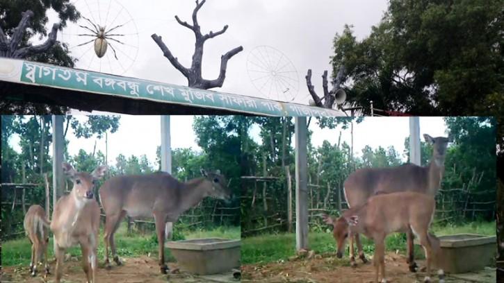 গাজীপুরের বঙ্গবন্ধু সাফারি পার্কে জন্ম নিলো বিলুপ্ত হওয়া ২ টি নীলগাই শাবক